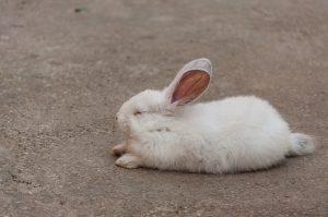 rabbit-sleeping